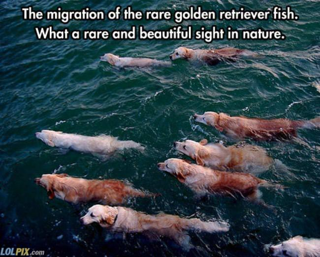 golden retriever fish