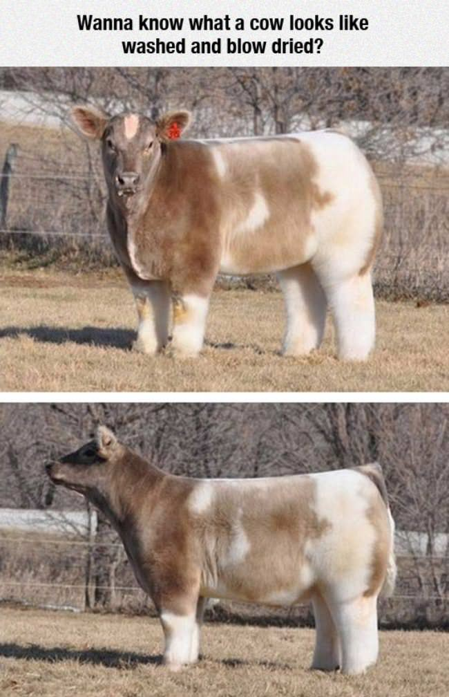 washed cow