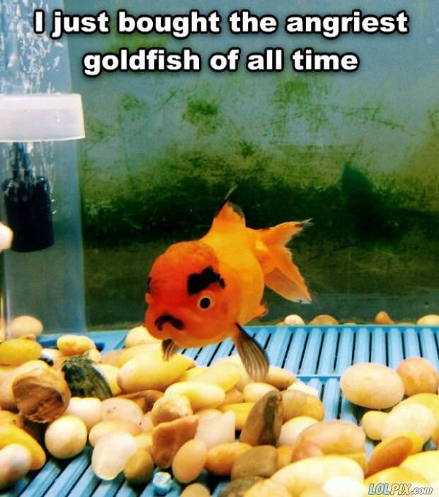 angry goldfish
