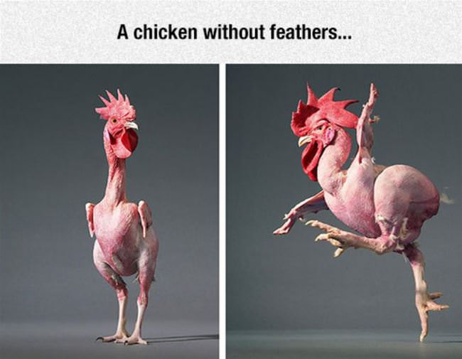 chicken without feathers