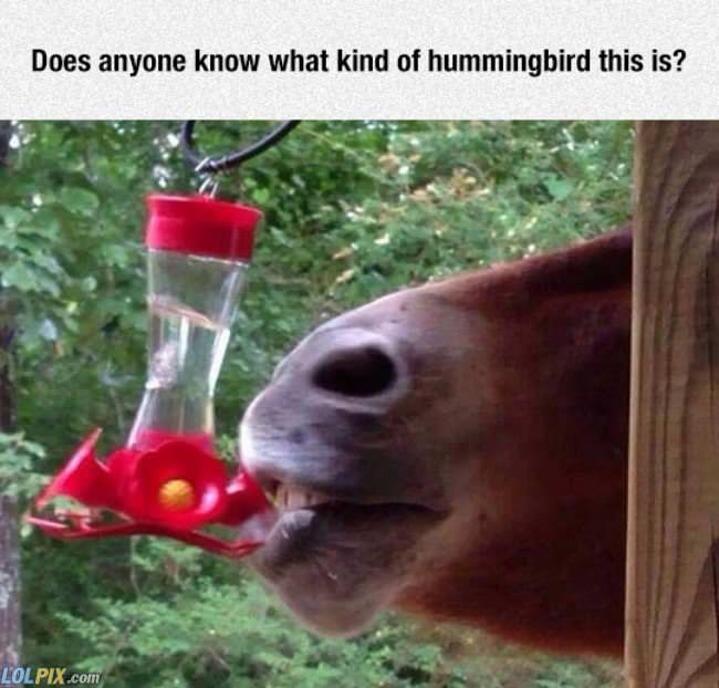 what kind of hummingbird