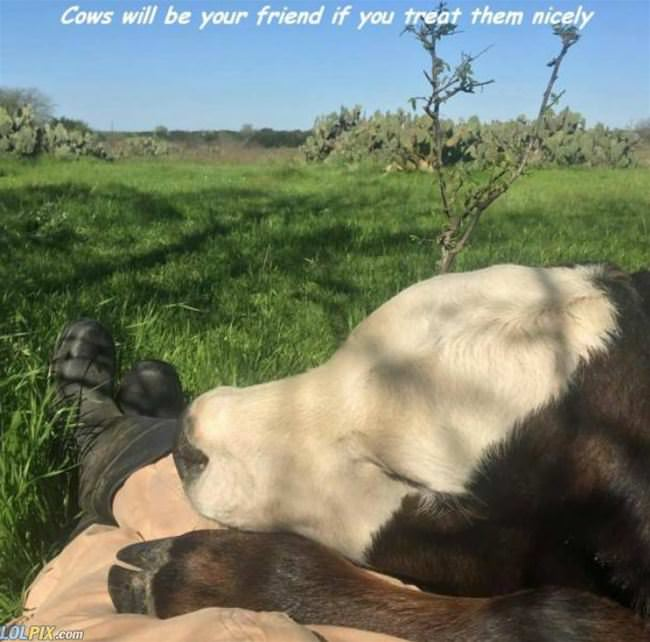 cows will be your friends