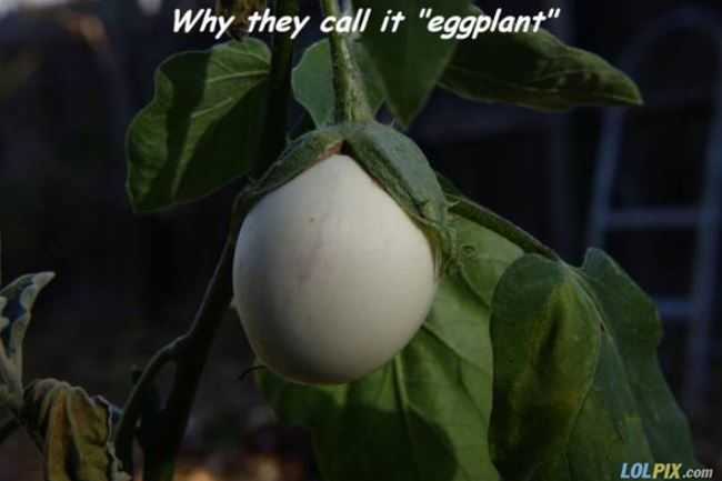 why do they call it an eggplant