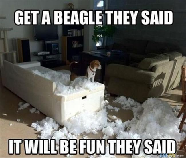 get a beagle they said