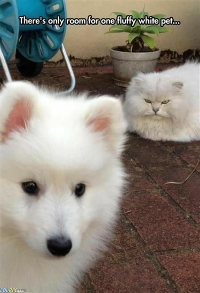 only room for one fluffy white pet