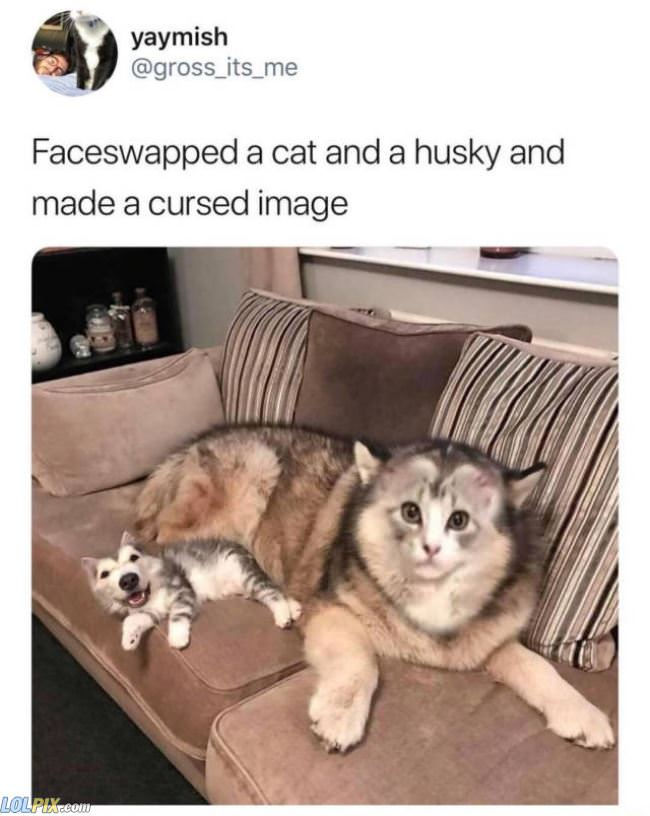 faceswapped a cat and husky