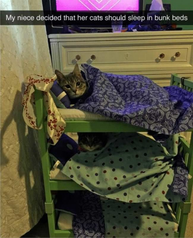 cats sleeping in bunk beds