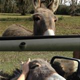 cool mini donkey