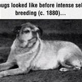 what pugs looked like
