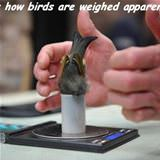 how birds are weighed
