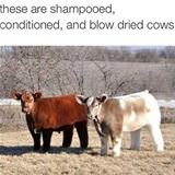 very clean cows