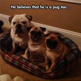 believes he is a pug too