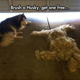 brush a husky