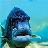 grumpy old fish