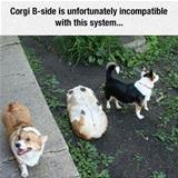 incompatible corgi