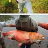 Giant Lake Goldfish