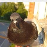 if pigeons had front eyes