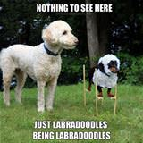 Just Some Labradoodles