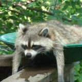 racoon chillin