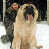 russian mountain dog