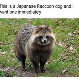 japanese racoon dog