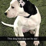 A Dog On A Dogs Ear
