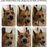 watched the dog eating a lemon