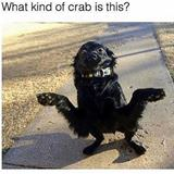 what kind of crab is this
