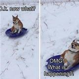 the sledding dog