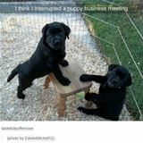 a puppy business meeting