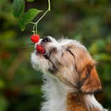 eating all the berries