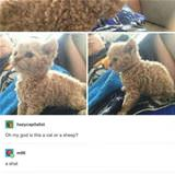 a cat or a sheep