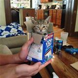 pop tart kitty