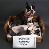 puppies coming soon