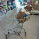 dog in a cart