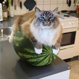 watermelons are comfortable