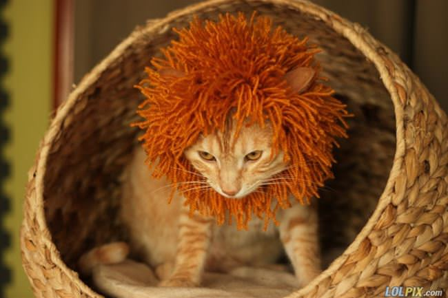 i am a lion now