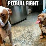 pitbull fight
