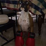 a real boxer