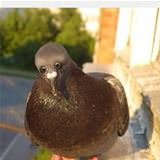 if pigeons had eyes in front