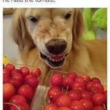 hates the tomate